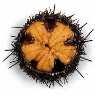 A photograph of a chilean sea urchin species loxechinus albus with the top removed showing the roe (uni) that is inside.